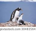극지방, 남극, 새끼 30483564