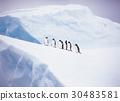 南極洲的Gentoo企鵝 30483581