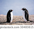 南極洲的Gentoo企鵝 30483615