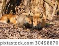 Kita狐狸的父母子女 30498870
