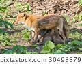Kita狐狸的父母子女 30498879