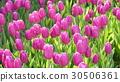 鬱金香 鬱金香花叢 花朵 30506361