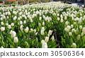鬱金香 鬱金香花叢 花朵 30506364