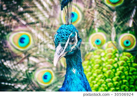 Indian peafowl - Pavo cristatus – peacock, filter 30506924