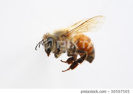 양봉 꿀벌 일벌 30507505