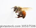 bee, honeybee, Honey Bee 30507506