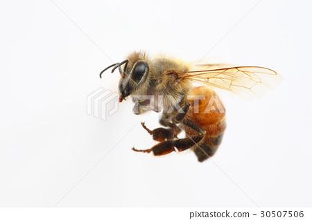 Working bee of honeybee 30507506