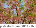 cherry blossom, cherry tree, kawaji sakura 30515363