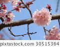 cherry blossom, cherry tree, kawaji sakura 30515364