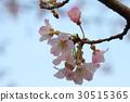 cherry blossom, cherry tree, kawaji sakura 30515365