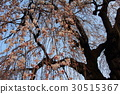 cherry blossom, cherry tree, fake buyer 30515367