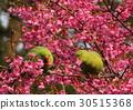 cherry blossom, cherry tree, fake buyer 30515368