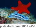 海膽海星 30515451