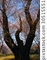 cherry blossom, cherry tree, forest 30515551