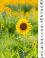 向日葵 太陽花 花朵 30516390