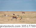 A group of Springboks 30517789