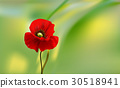 flowers of red poppy closeup on blur background. 30518941