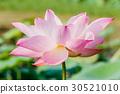 beautiful pink waterlily or lotus flower in pond 30521010