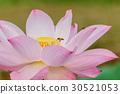 beautiful pink waterlily or lotus flower in pond 30521053