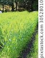 만요 식물원 보리 30528010