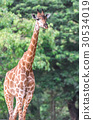 Portrait of giraffe on blurred background 30534019