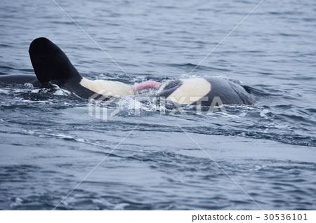 野生虎鯨揮舞著生殖器 30536101