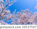 櫻花·盛開 30537507