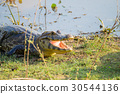 alligator, crocodile, riverside 30544136