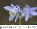 aquilegia flabellata, miyama-odamaki buttercup, fan columbine 30545727
