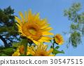 向日葵 花朵 花 30547515