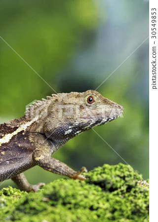 lizard 30549853