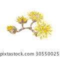 산수유 꽃 30550025