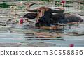 Buffalo, Buffalo swimming. and eating water lily 30558856
