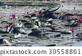Buffalo, Buffalo swimming. and eating water lily 30558861