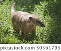 coati, nasua, animal 30561793