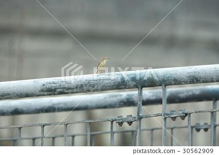 褐頭鷦鶯 30562909
