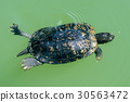 central park new york turtle while swimming 30563472
