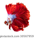 Red Halfmoon Dragon fish 30567959