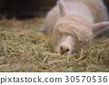 容易和羊驼 30570536