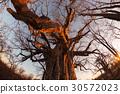 Huge Baobab plant in the african savannah 30572023