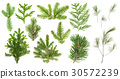 Set coniferous tree branches Spruce pine cypress 30572239