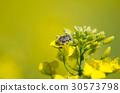 Bug Tropinota hirta on rapeseed flower, macro 30573798