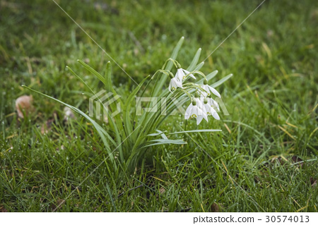 Snowdrop flowers on a green lawn 30574013