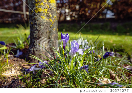 Spring in the garden with colorful crocus flowers 30574077