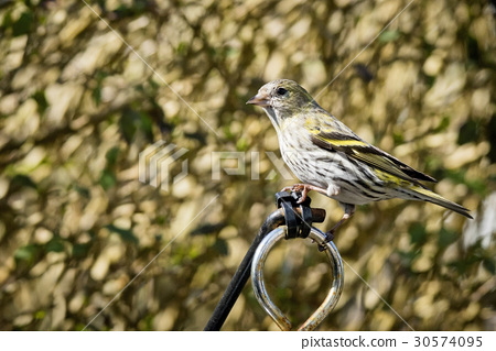 Siskin Sitting in a garden in the springtime 30574095