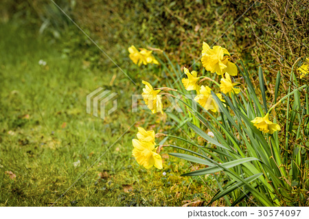 Springtime in the garden with yellow daffodils 30574097