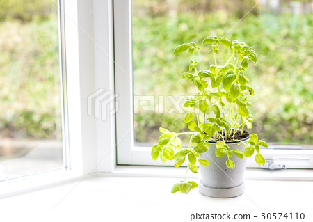 Basil herb in fresh green colors 30574110