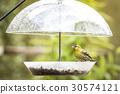 siskin, feeding, yellow 30574121
