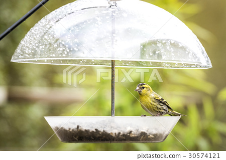 Siskin bird taking cover for the rain 30574121