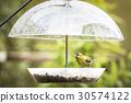 Siskin bird eating food on a rainy day 30574122